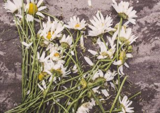 dying daisies
