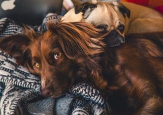 2 dogs snuggled